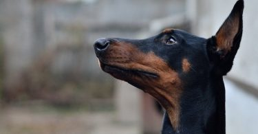 A Pinscher-type dog waiting patiently for his owner.