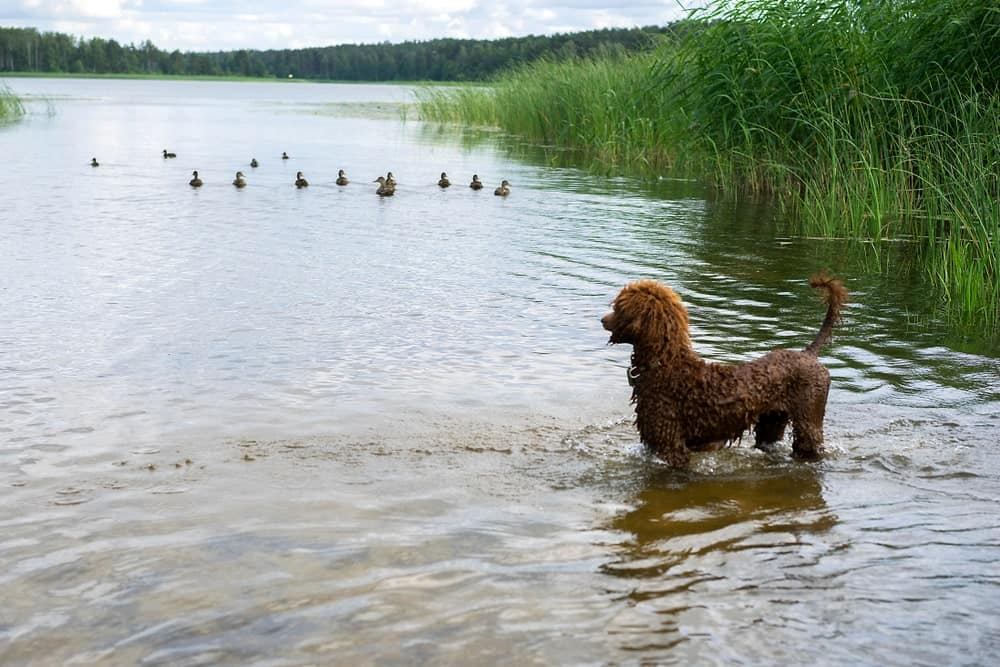 A puppy Poodle training to be a hunting dog.