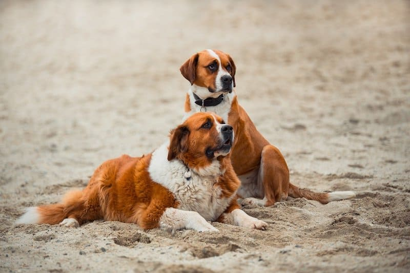 The Saint Bernard is the most popular Italian dog.