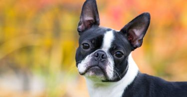 The Boston Terrier was bred for dog fighting and vermin hunting.