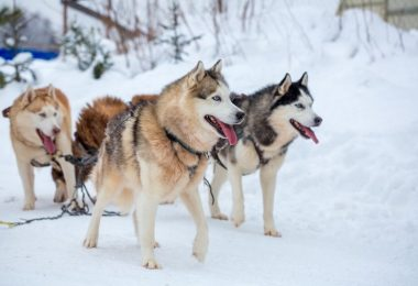 The Alaskan Malamute and Husky are the most famous Alaskan dogs.