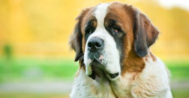 The Saint Bernard's intelligence.