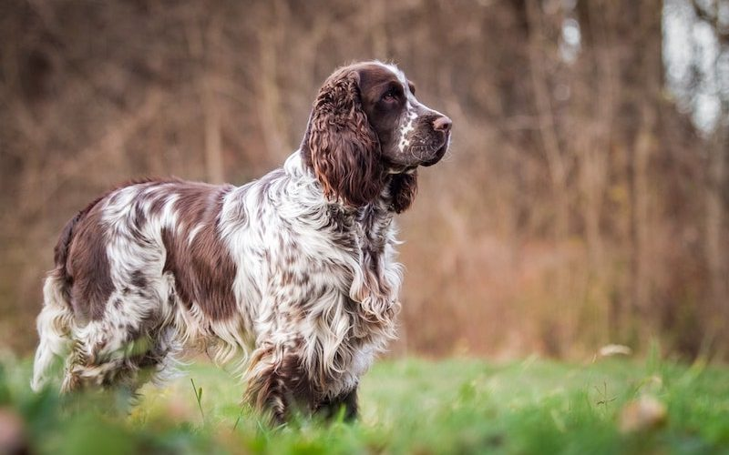 The intelligent Springer Spaniel on the hunting field.