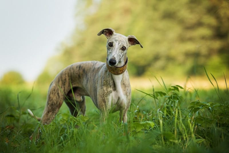 The smart Whippet is more than just fast speeds.