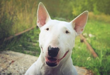 The Bull Terrier is smart, but not in the way you think.
