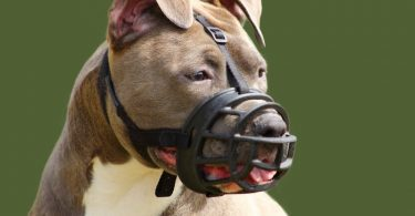 Owner scared of lockjaw puts muzzle on a Pitbull.