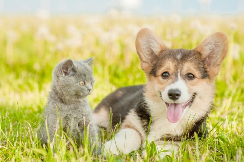 A Pemebroke Welsh Corgi playing with a cat in the field.