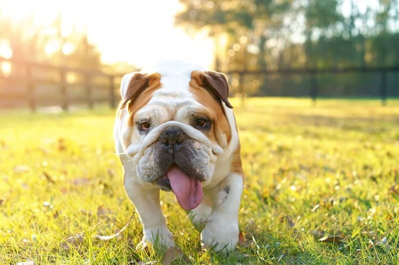 The English Bulldog is the most iconic dog breed from England.
