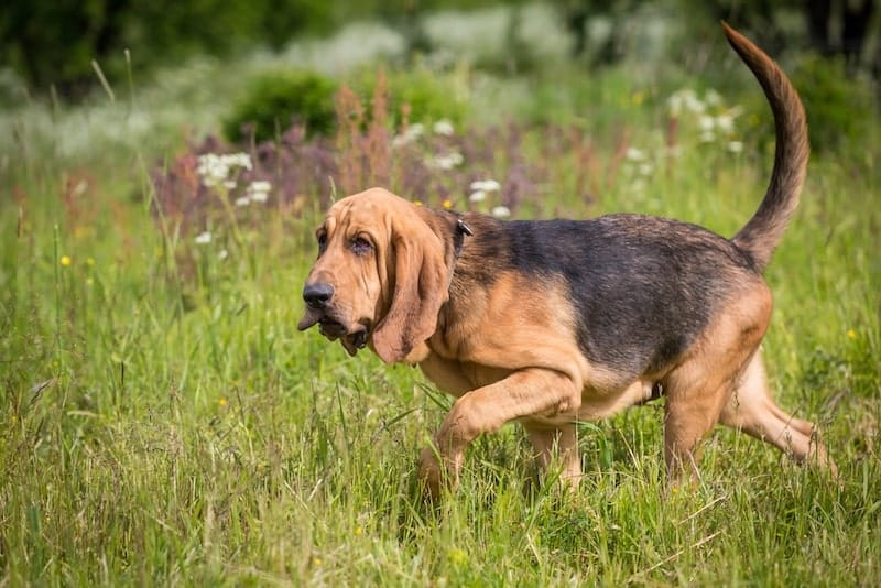 Bloodhound showing off his instinctive intelligence by tracking.