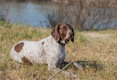 The intelligent German Shorthaired Pointer dog.