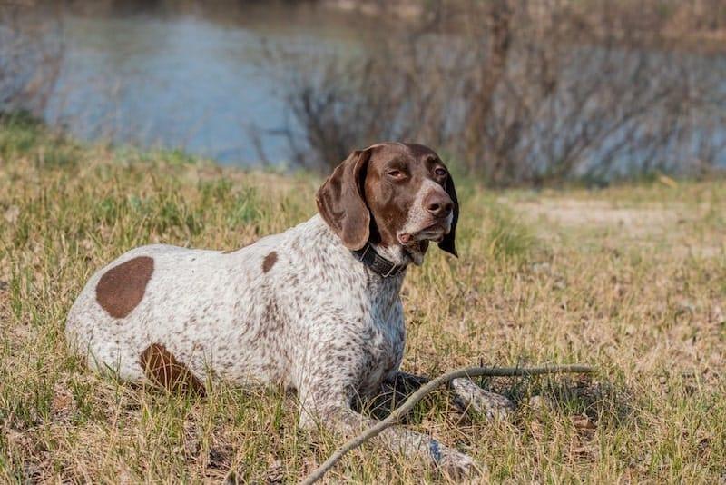 The intelligent German Shorthaired Pointer dog.