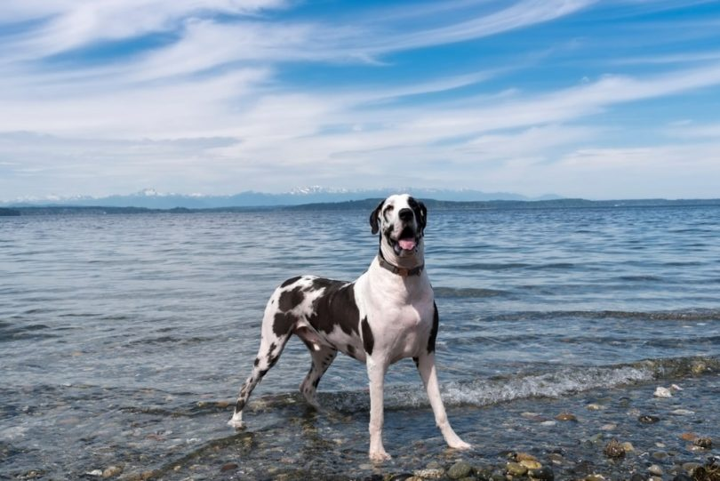 A Great Dane getting ready for a swim.