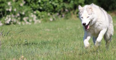 A Husky running in the field.
