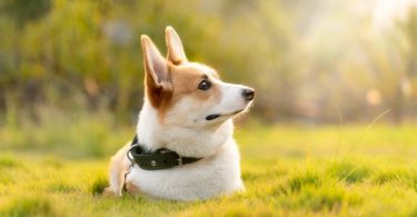Here's what all new Corgi owners should know before bringing one home.