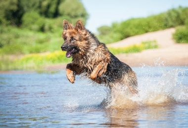 A German Shepherd swimming in the lake.