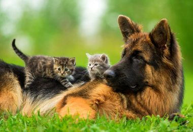 A German shepherd peacefully hanging around with cats.
