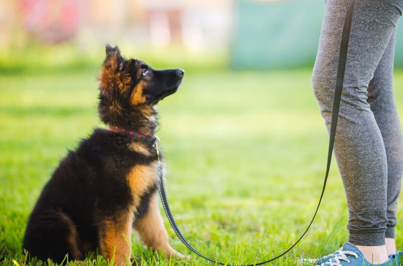 An owner patiently training her German Shepherd puppy.