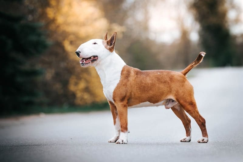 The mighty Bull Terrier, with their egg-shaped head, are now bred for companionship.