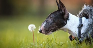 The Bull Terrier has become a deformed dog breed through breeding for appearance.