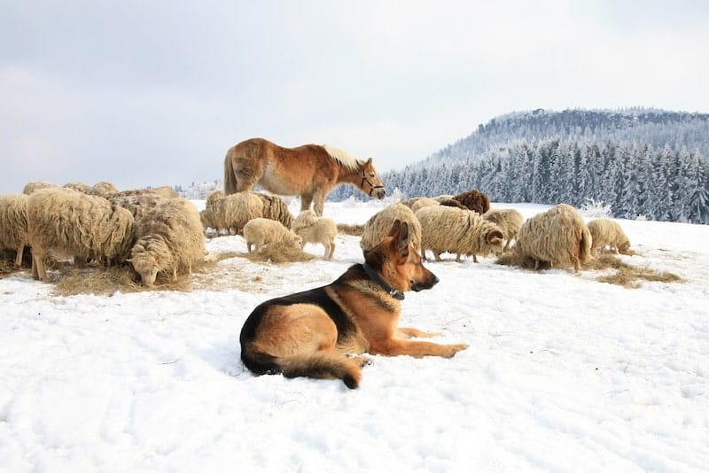 A German Shepherd protecting his flock of sheep, as they were originally bred to do.