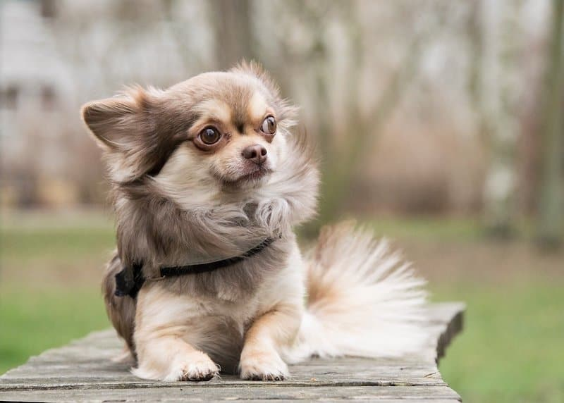 most interesting facts about chihuahuas