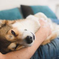 Pembroke Welsh Corgi cuddling with his owner.