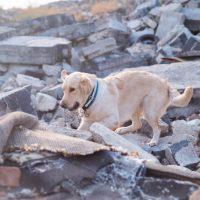 Golden Retriever dog after a huge earthquake.