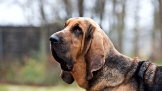 The most interesting facts about Bloodhounds.
